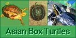 Asian Box Turtles