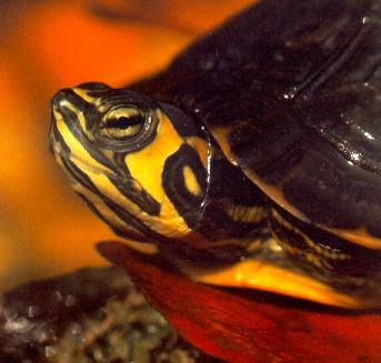 Resultado de imagen de tortuga de orejas amarillas imagen libre
